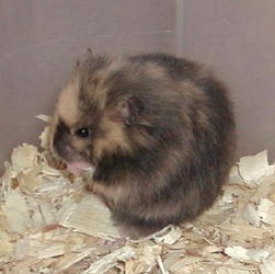 All about Breeding Pairings To Avoid California Hamster